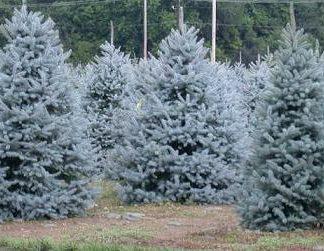 Ялина блакитна Кайбаб ( селеція США) дворічна Picea Pungens Kaibab  Ціна вказана за 10 саджанців