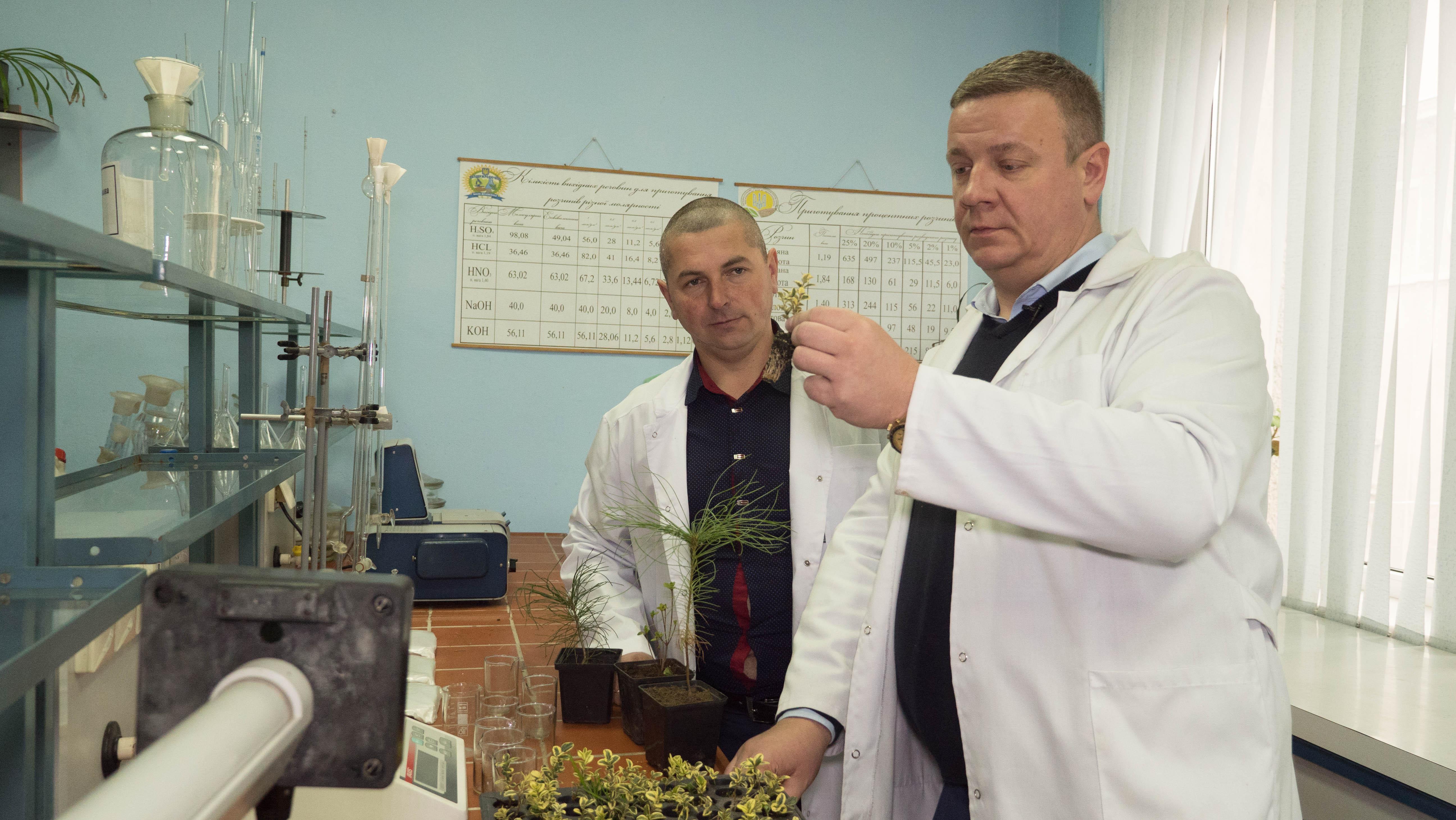 Выращивание сосен. Новые сорта в Украине.