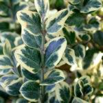 """Buxus sempervirens 'Elegans"""" Самшит Элеганс с белой каймой листвы"""