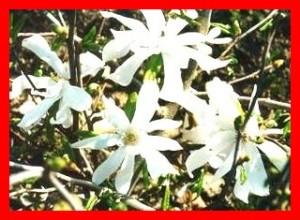 Магнолия Кобус Magnolia kobus