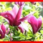 Магнолия Лилиецветная Magnolia liliflora