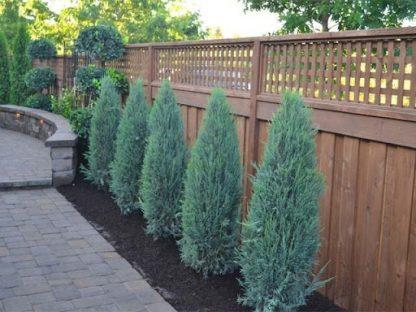 Ялівець скальний БлюЕров Juniperus scopulorum Blue Arrow