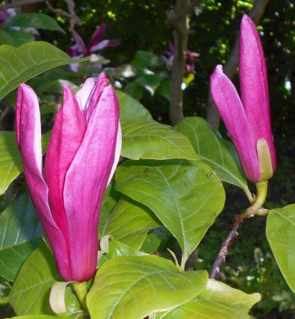 Магнолія лілієквіткова Magnolia liliflora