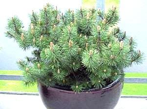 Сосна горная муго мугус Pinus mugo mughus