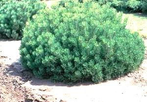 Сосна горная Монтана Pinus mugo montana