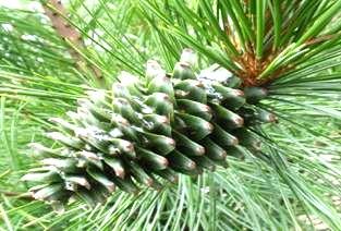 Сосна кедровая корейская Pinus koraiensis