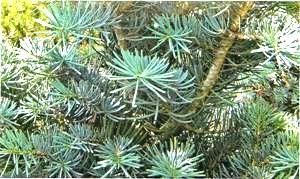 Пихта Бальзамическая голубая Abies balsamea glauca