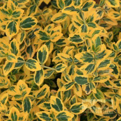 Бересклет Форчуна Емерал Голд   Euonymus fortunei «Emerald Gold»