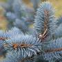 Саженцы хвойных и лиственных растений для доращивания