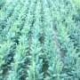 semena-4