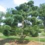 Pinus-strobus-08