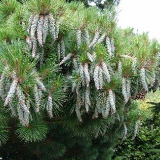 Сосна восточная   Pinus strobus