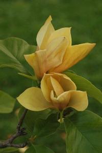 Желтая магнолия  семена