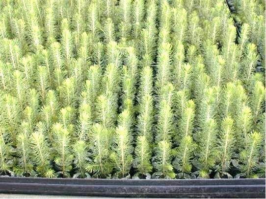 Выращивание голубой ели из семян