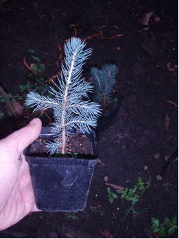 Выращивание из семян голубая ель 35