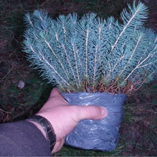 Уникальное предложение! Ель голубая Каибаб Picea glauca Kaibab Цена за 500шт