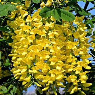 Лабурнум Бобовник «Золотой дождь» – Laburnum anagyroides