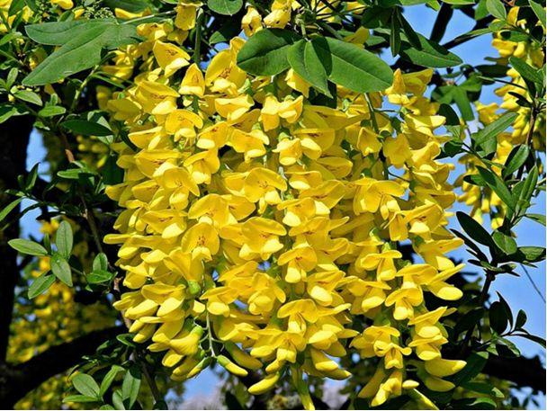 Семена Бобовника (Золотой дождь)