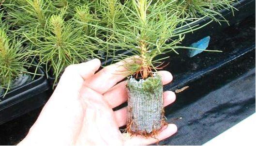 Рассада хвойных деревьев в домашних условиях 5