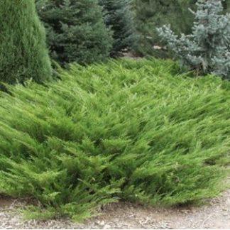 Можжевельник казацкий  Hicksii   Juniperus sabina Hicksii