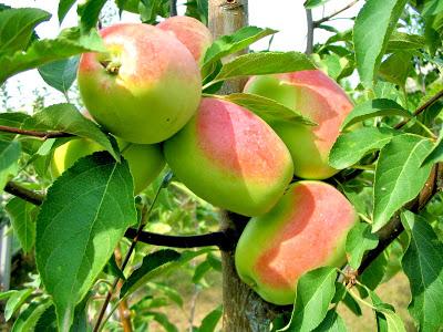 Сад райских яблок на кануне зимы.Саженцы плодовых деревьев.