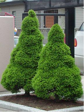 Ялина канадська Коніка Picea  Conica