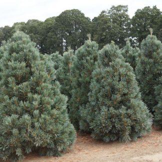 Сосна мяка  Pinusflexilis