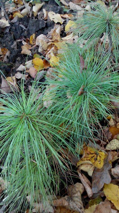 Сосна гімалайська  Pinus griffithi