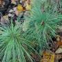 Pinus-griffithi