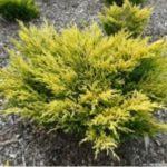 Можжевельник горизонтальный Лайм глов  juniperus horizontalis lime glow