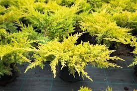 Ялівець горизонтальний  Лайм глов  juniperus horizontalis lime glow