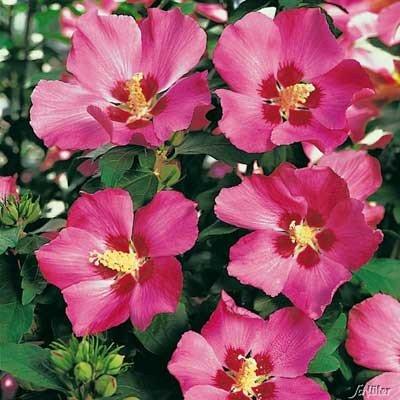 Гібіскус сірійський деревовидний  (Hibiscus syriacus mix)