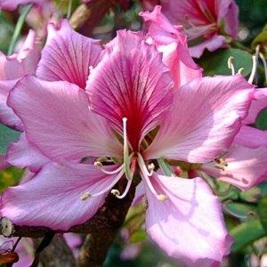 орхидейное дерево
