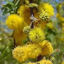Acacia farnesian