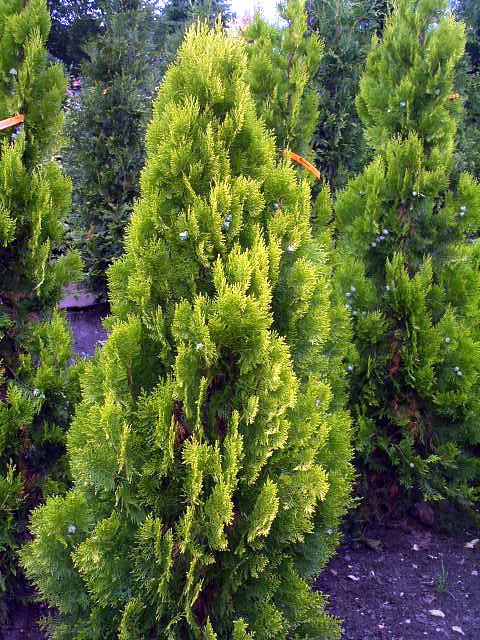 Туя восточная Thuja orientalis ,Platycladus orientalis цена за 10 саженцев 25 грн.