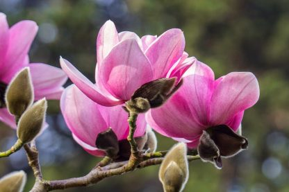 Магнолія Суланжа Magnolia soulangeana