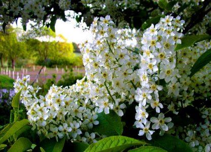 Черемха звичайна  Prunus Рadus avium Mill