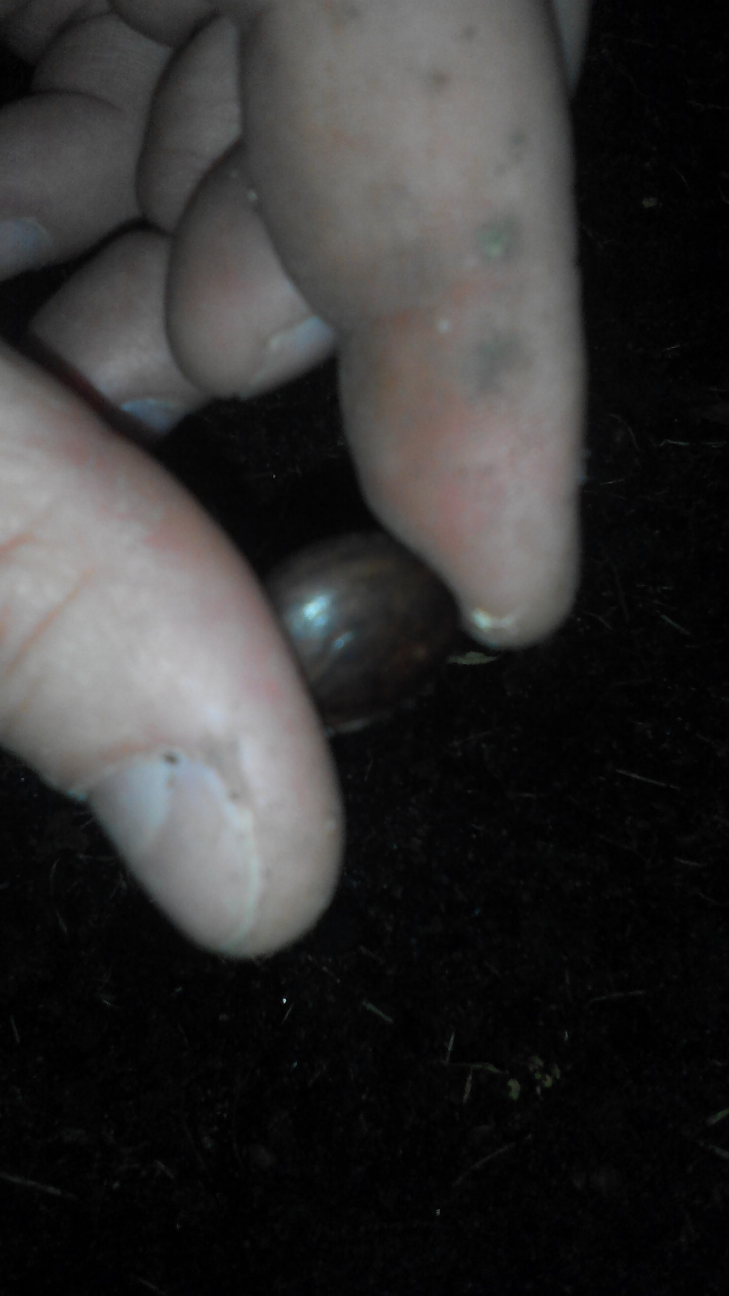 Глициния семечко в руке