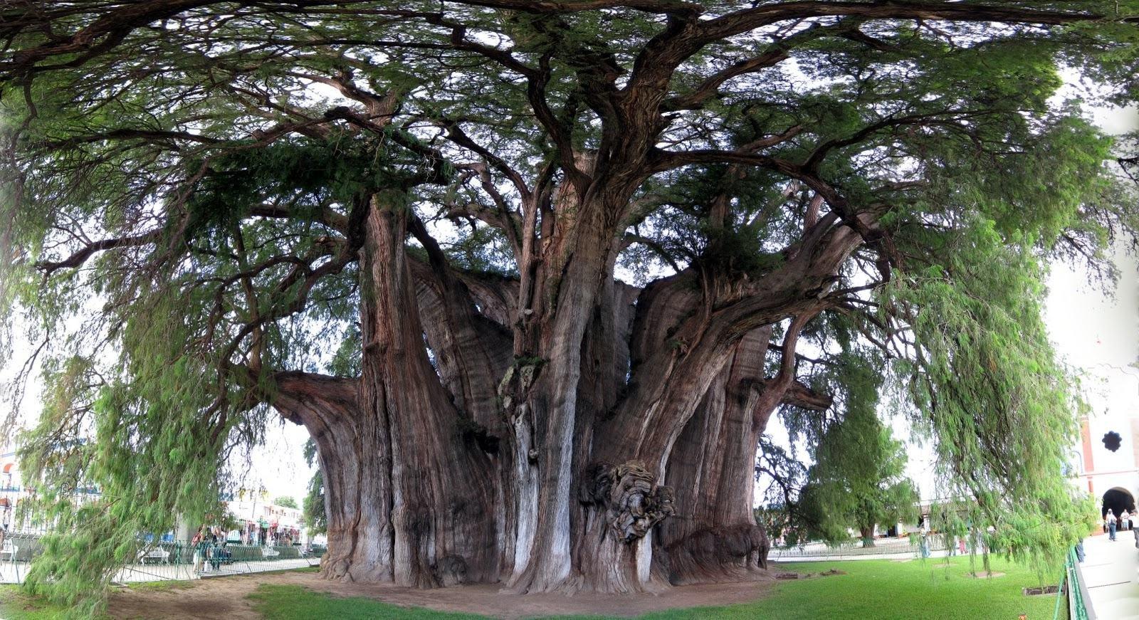 Токсодиум обыкновенный Taxodium distichum — дерево доледникового периода