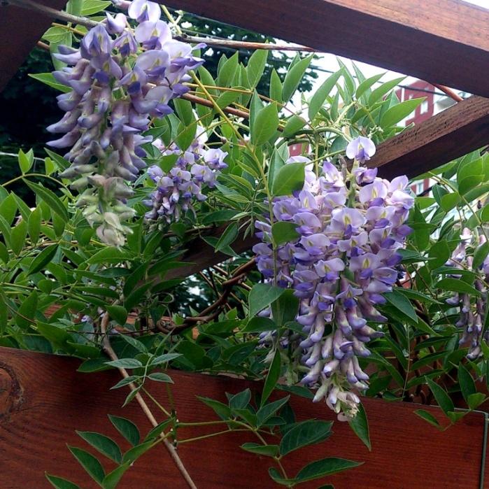 Выращивание Глицинии из семян Орхидейное дерево или Баухиния проращивание семян