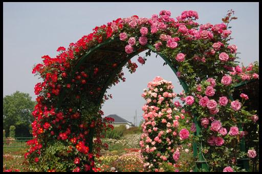 Плетистые розы по 25 грн.Сорта самые известные в мире!