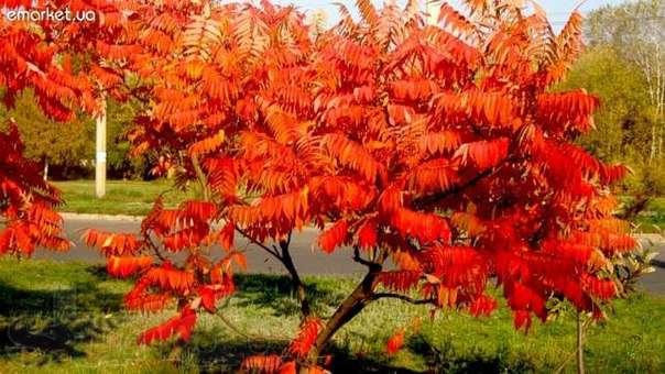 сумах дерево фото описание