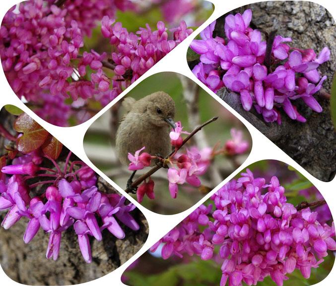 Семена Иудового дерева Церциса — удивительного по своей красоте!