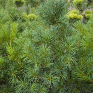 Сосна кедровая белая Арманда Pinus armandii