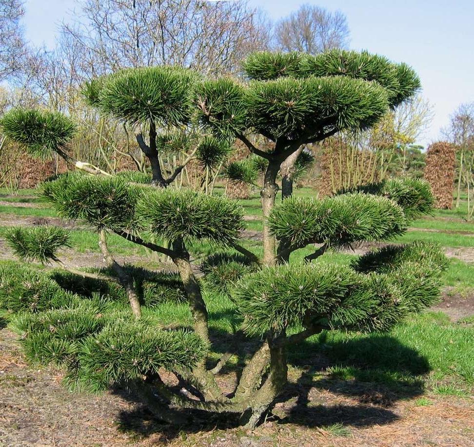 Семена горной сосны Pinus mugo Montana