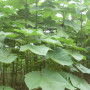 Fast-Growing-Tree-Seeds-Paulownia-Elongata-Seed.jpg_350x350