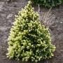 Picea-glauca-Daisys-white