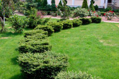 Ялина подушковидна 'Нідіформіс' Picea abies 'Nidiformis' Ціна вказана за 10 саджанців