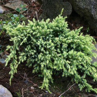Ялівець лускатний Холгер Juniperus squamata Holger Ціна вказана за 10 саджанців