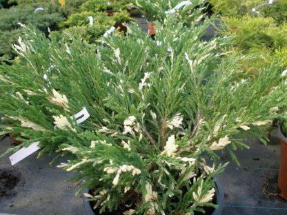 Ялівець горизонтальний Андора варієгата Juniperus horizontalis 'Andorra Variegata